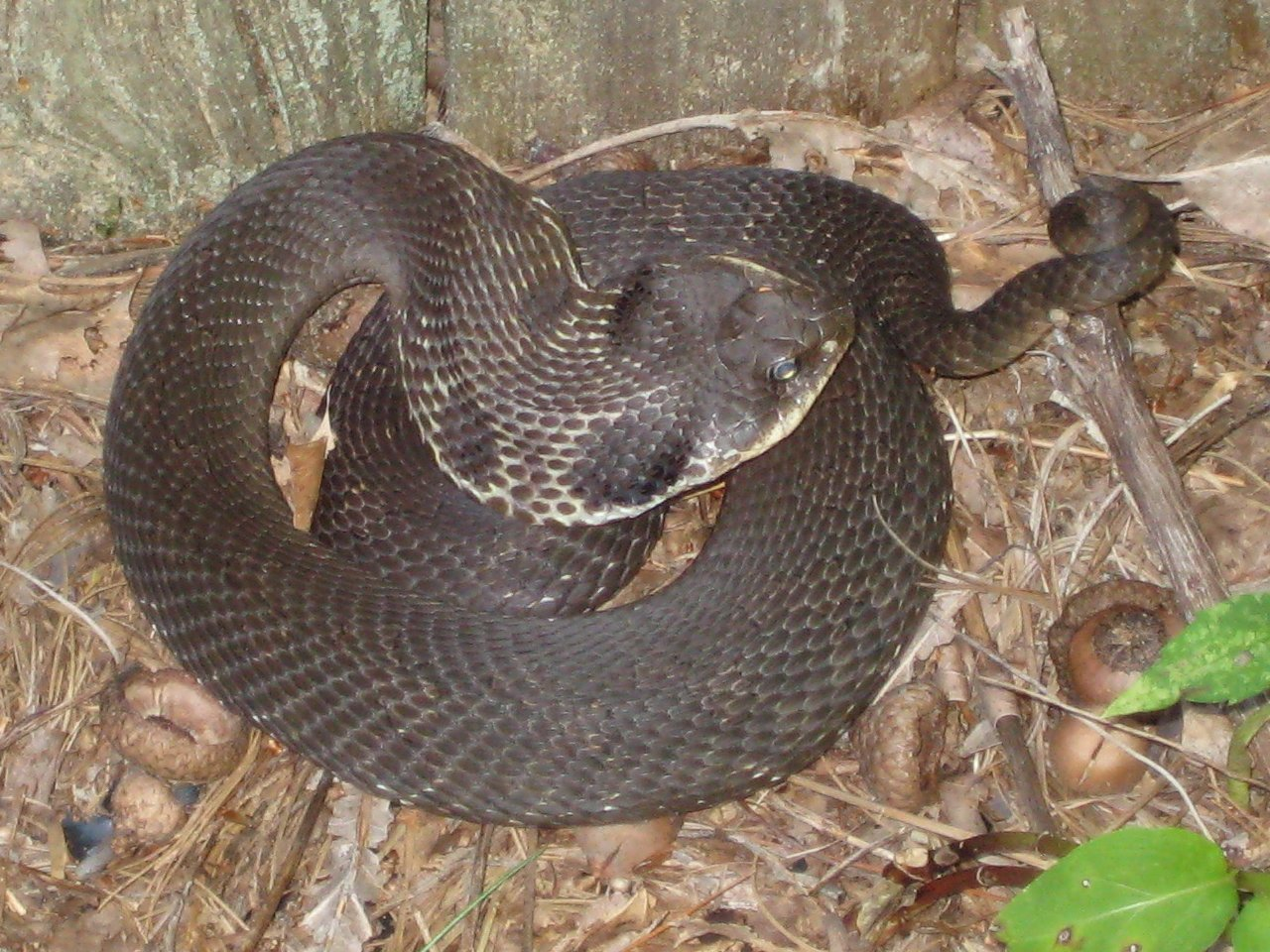 Hooded snake of mystery in New